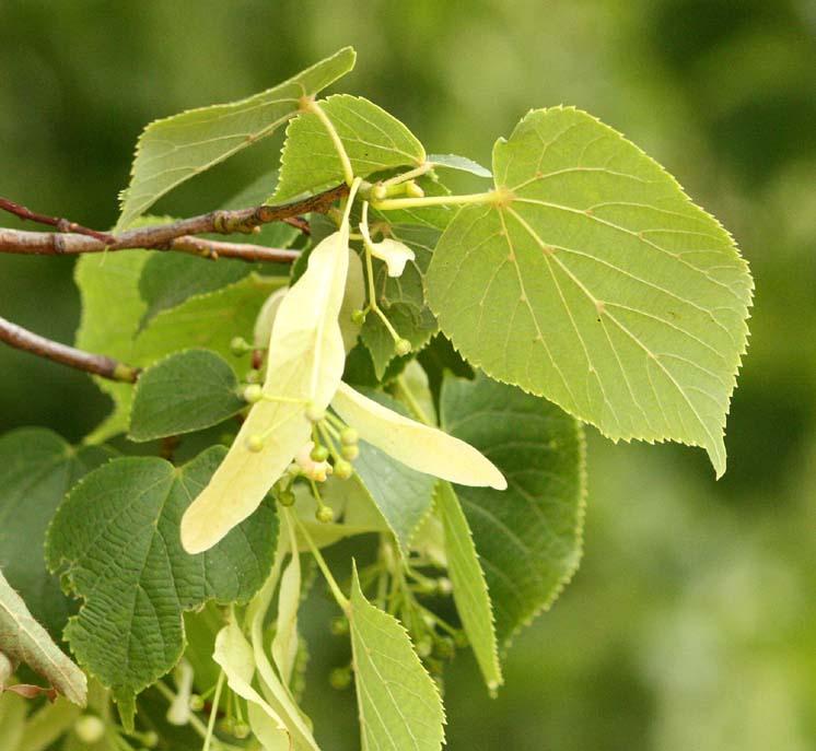 Tilia vulgaris