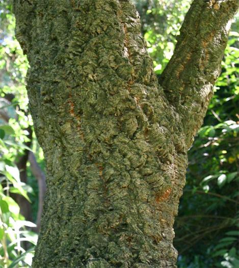 Quercus sauber コルクガシ